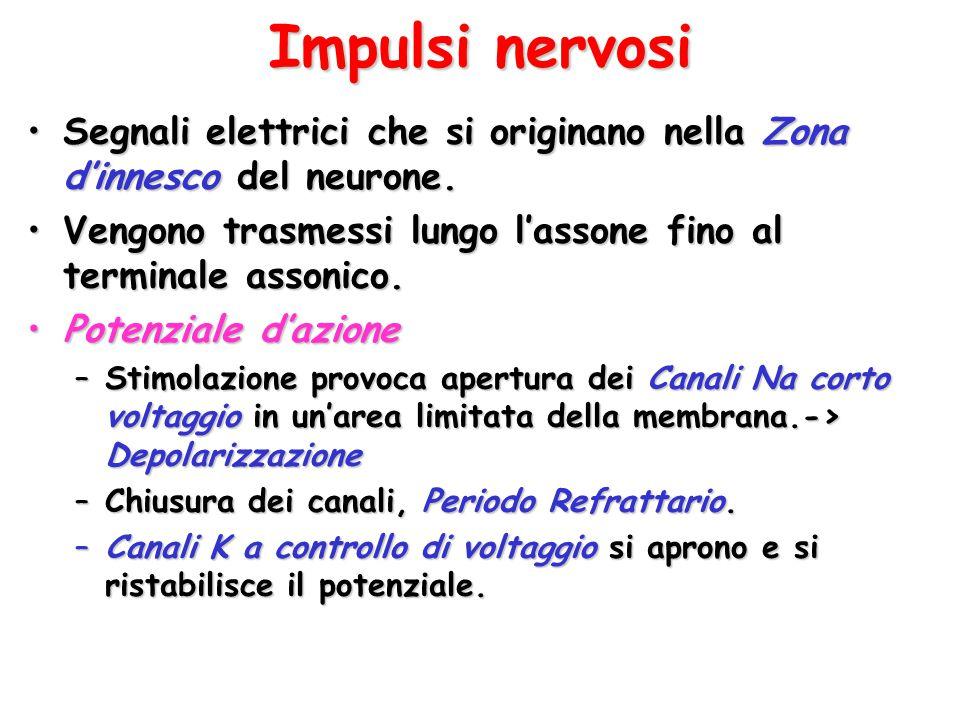 Impulsi nervosi Segnali elettrici che si originano nella Zona d'innesco del neurone. Vengono trasmessi lungo l'assone fino al terminale assonico.