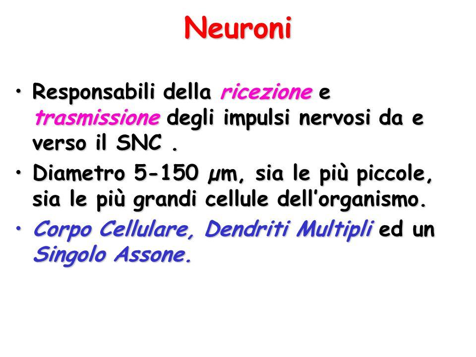 Neuroni Responsabili della ricezione e trasmissione degli impulsi nervosi da e verso il SNC .