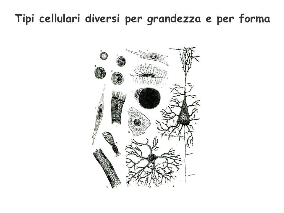 Tipi cellulari diversi per grandezza e per forma