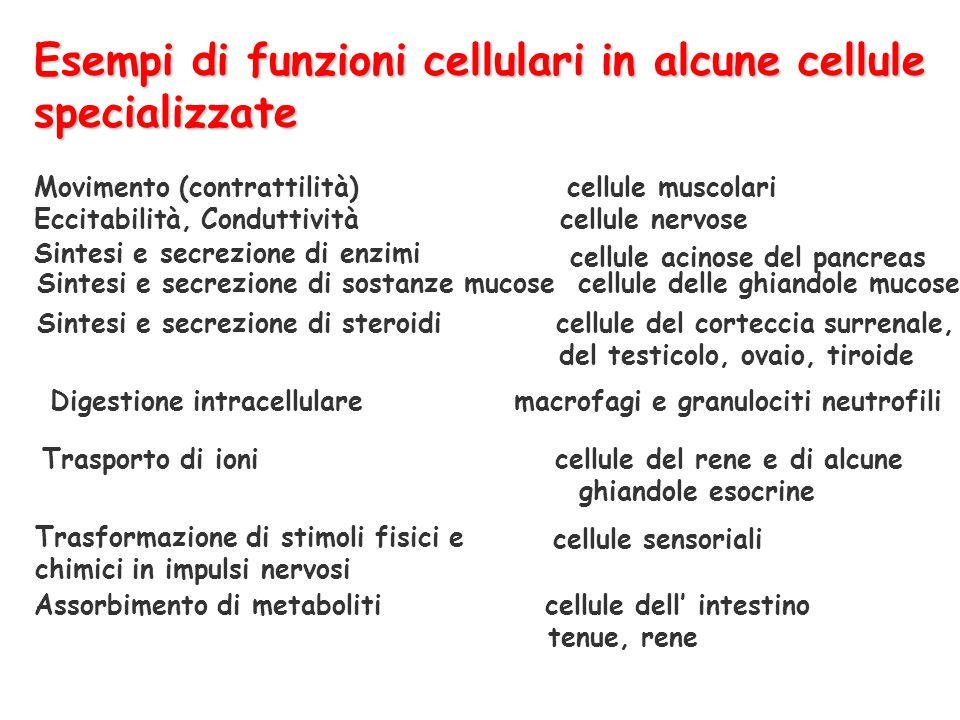 Esempi di funzioni cellulari in alcune cellule specializzate