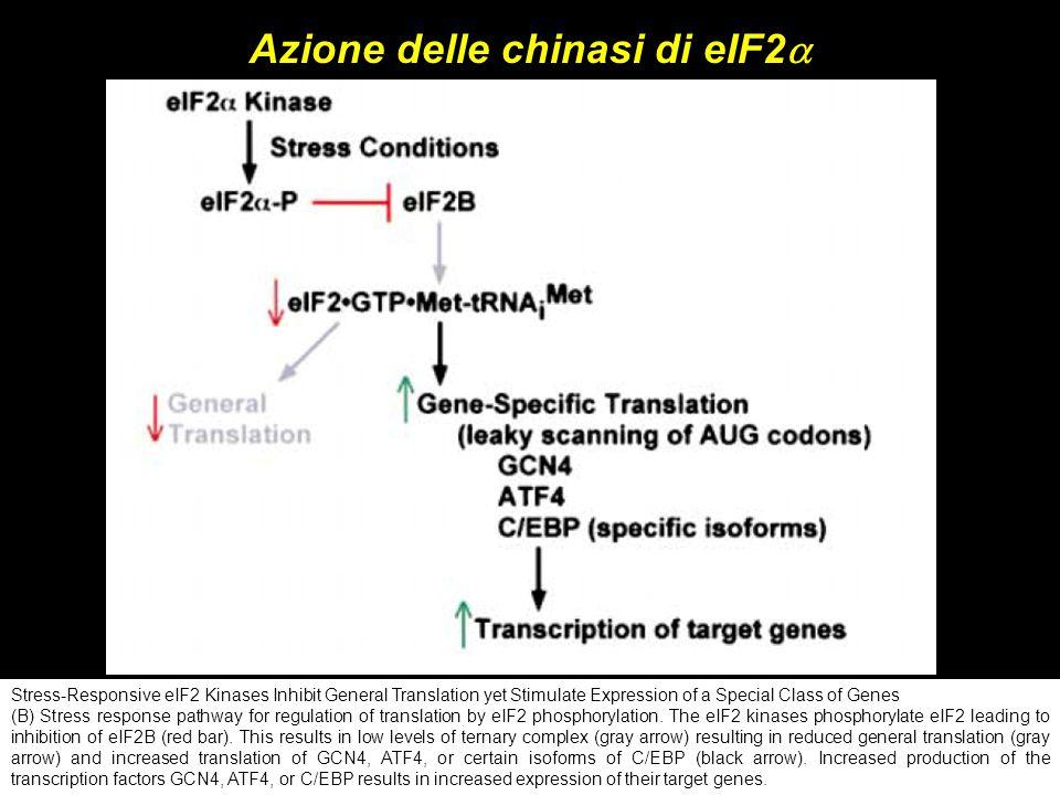Azione delle chinasi di eIF2a