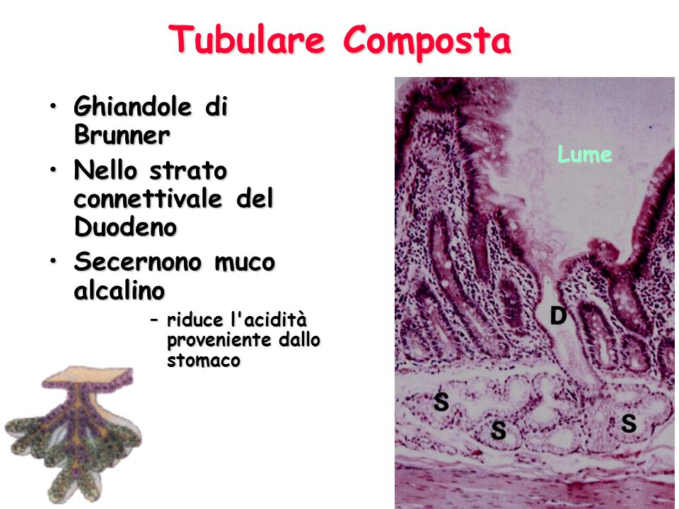 Tubulare Composta Ghiandole di Brunner