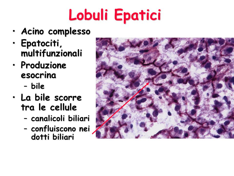Lobuli Epatici Acino complesso Epatociti, multifunzionali
