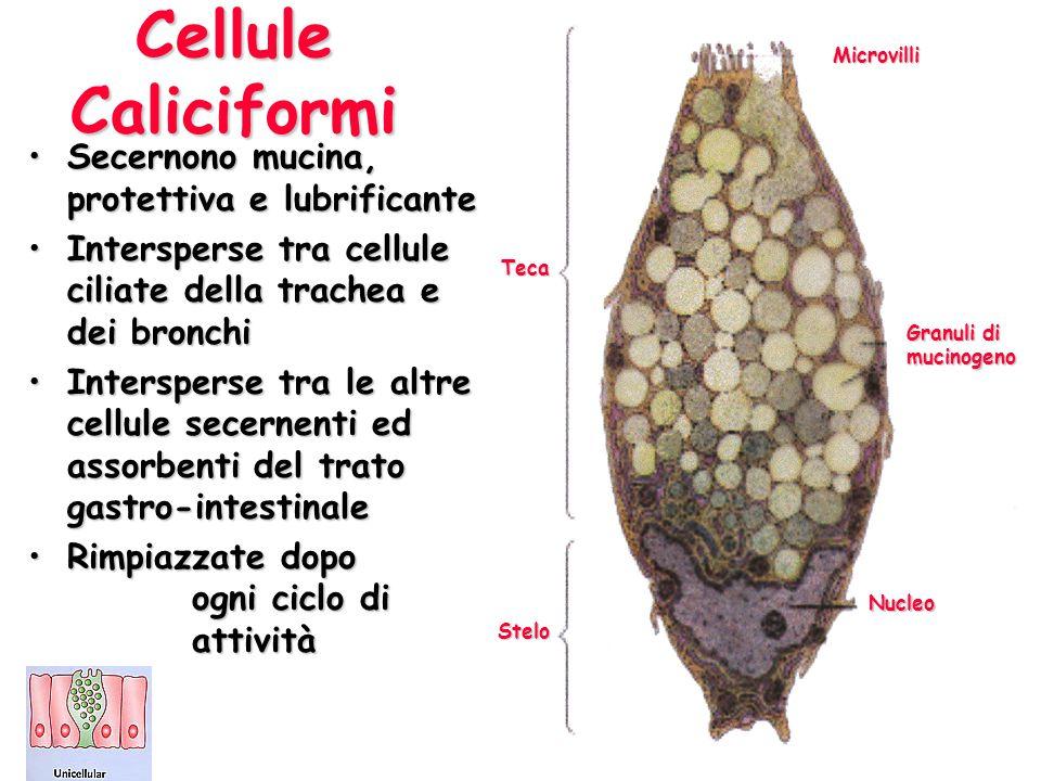 Cellule Caliciformi Secernono mucina, protettiva e lubrificante