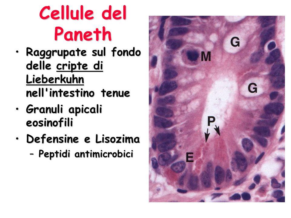 Cellule del Paneth Raggrupate sul fondo delle cripte di Lieberkuhn nell intestino tenue. Granuli apicali eosinofili.