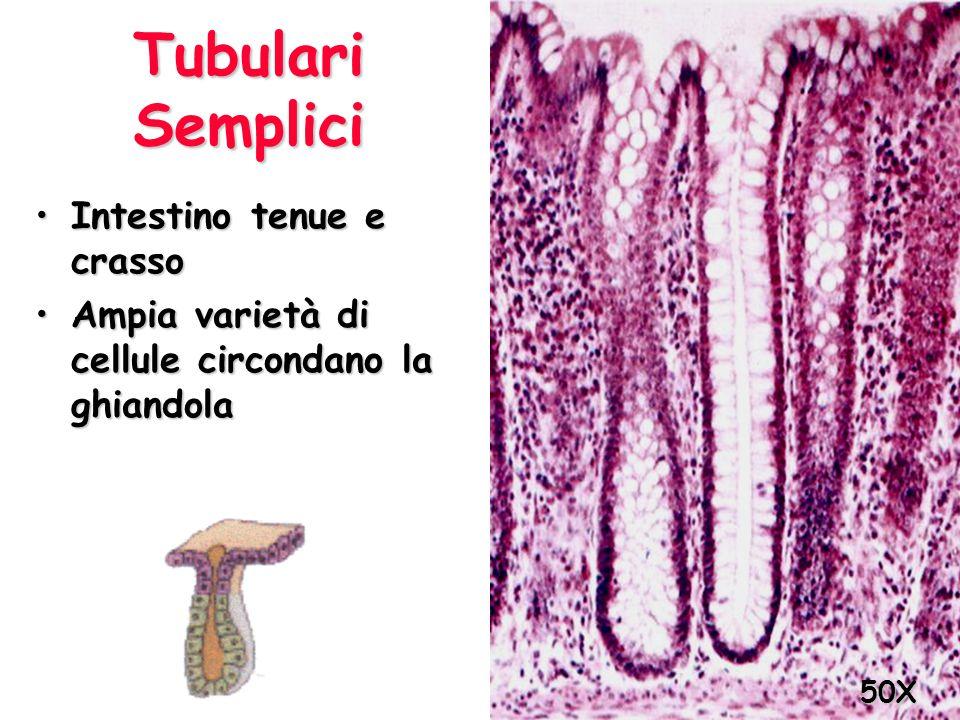 Tubulari Semplici Intestino tenue e crasso