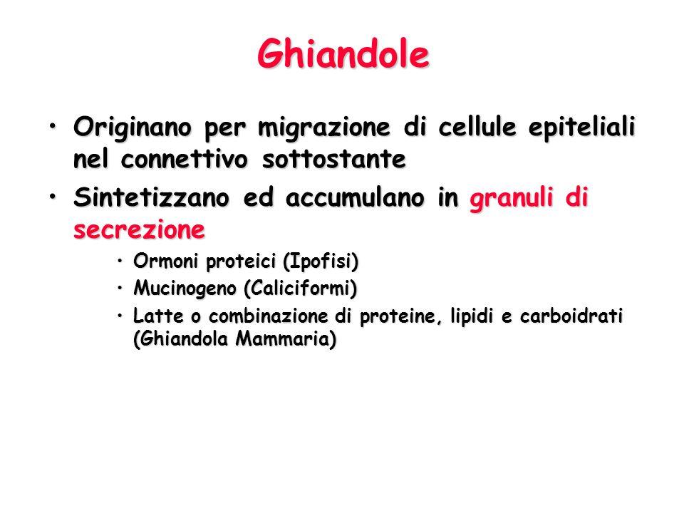 Ghiandole Originano per migrazione di cellule epiteliali nel connettivo sottostante. Sintetizzano ed accumulano in granuli di secrezione.
