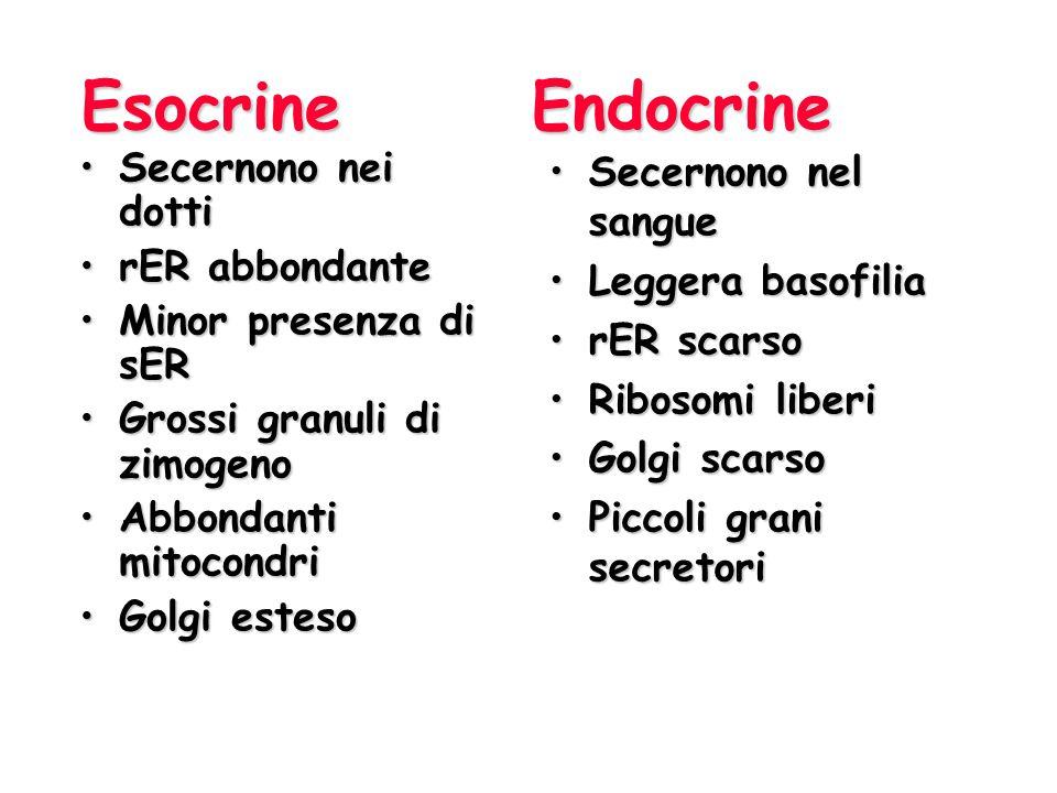 Esocrine Endocrine Secernono nei dotti rER abbondante