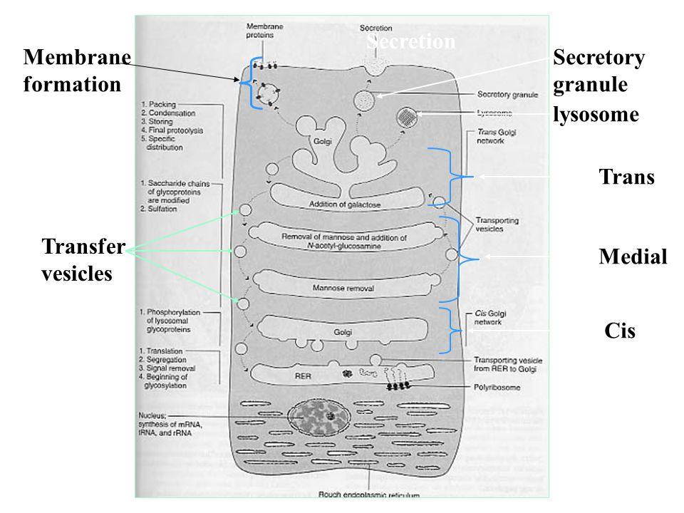 Secretion Membrane formation Secretory granule lysosome Trans Transfer vesicles Medial Cis