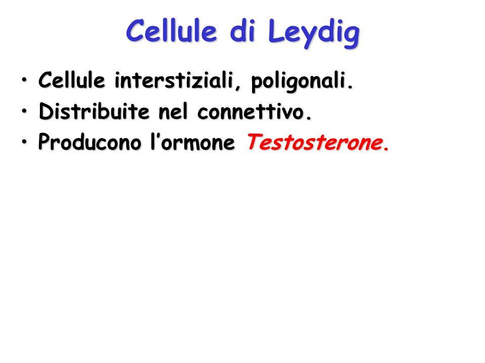 Cellule di Leydig Cellule interstiziali, poligonali.