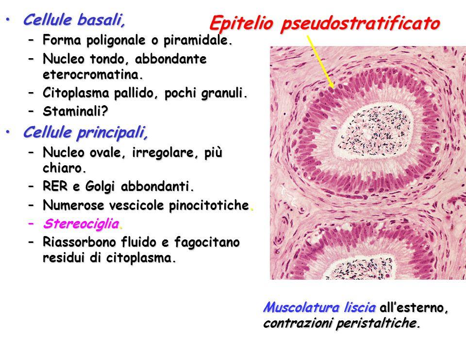 Epitelio pseudostratificato