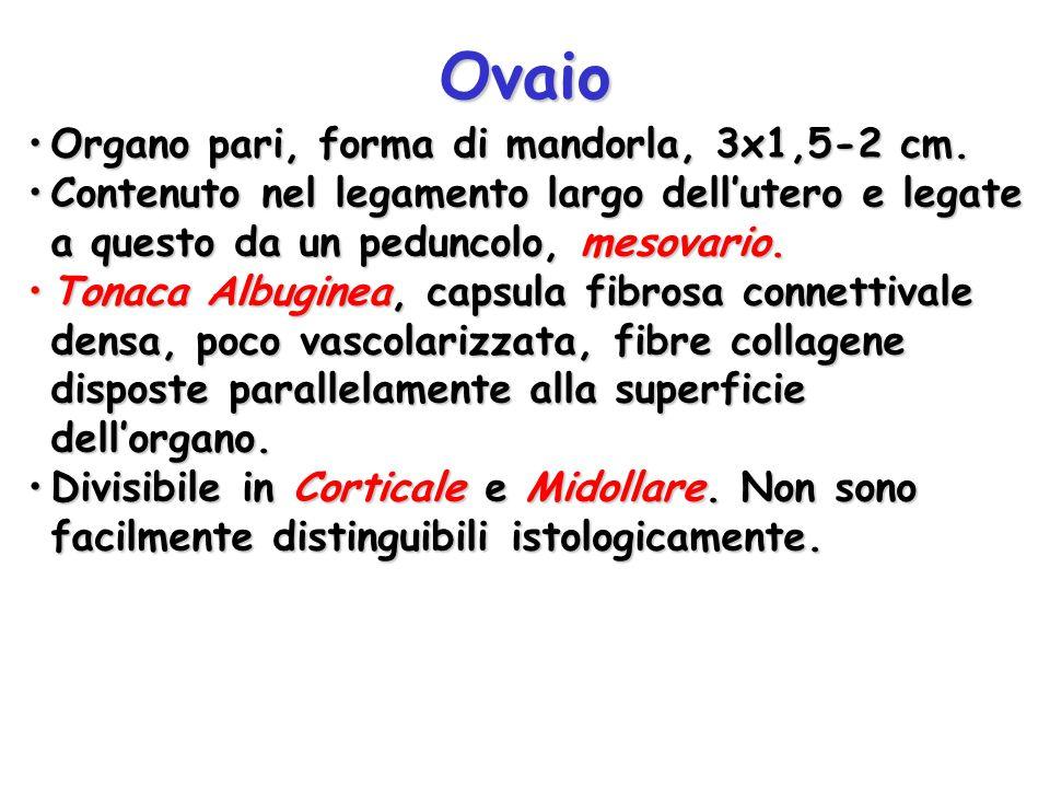 Ovaio Organo pari, forma di mandorla, 3x1,5-2 cm.