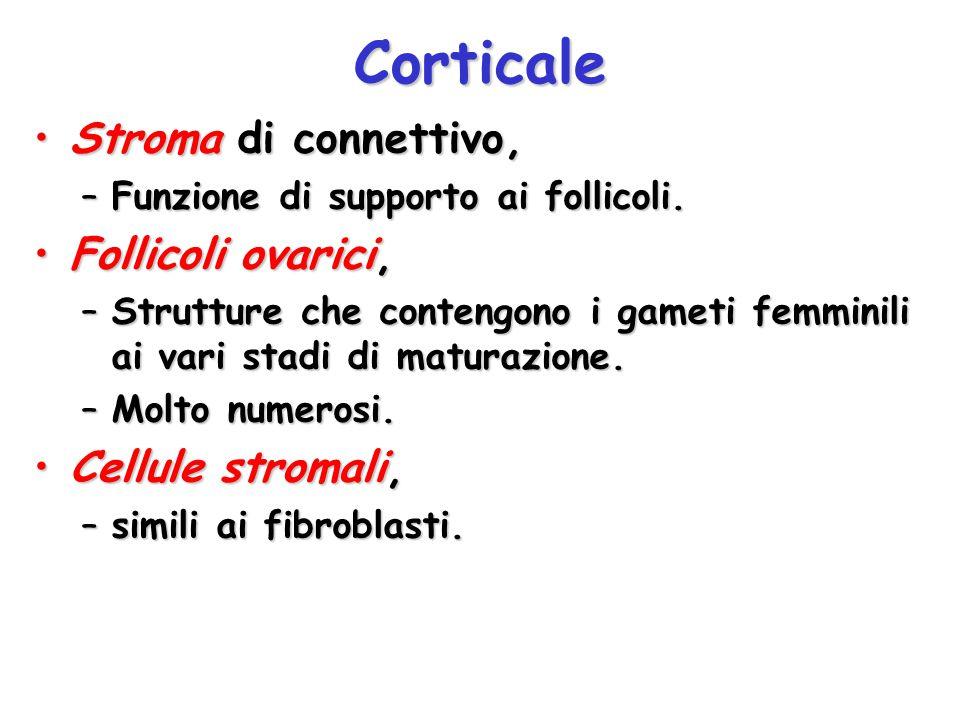 Corticale Stroma di connettivo, Follicoli ovarici, Cellule stromali,