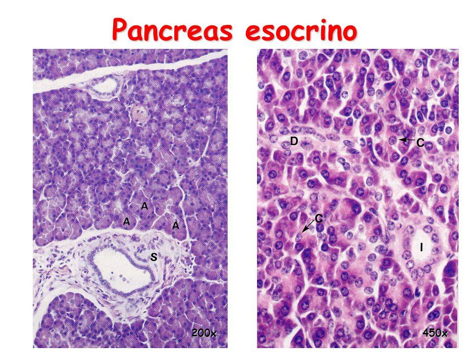 Pancreas esocrino 200x 450x