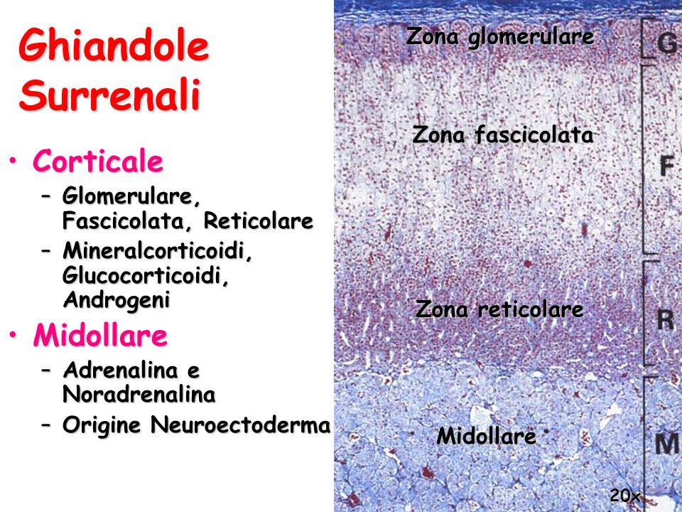 Ghiandole Surrenali Corticale Midollare Zona glomerulare