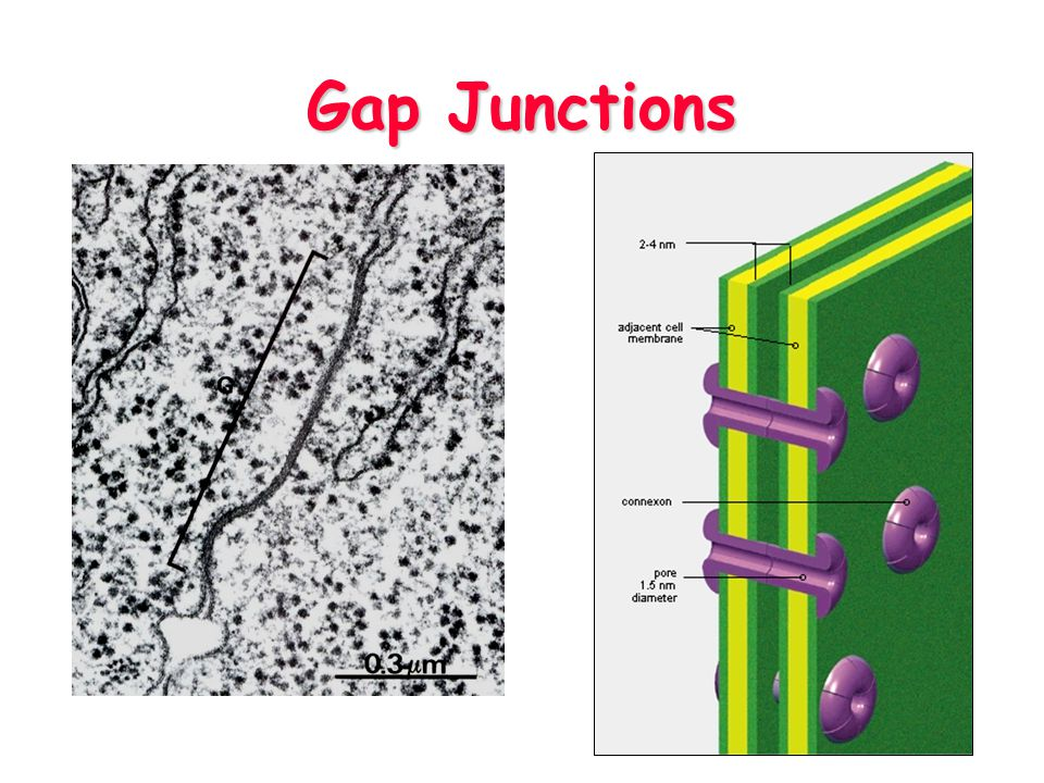 Gap Junctions