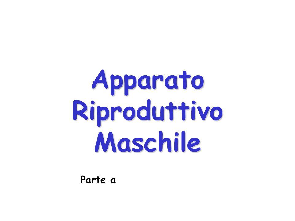 Apparato Riproduttivo Maschile