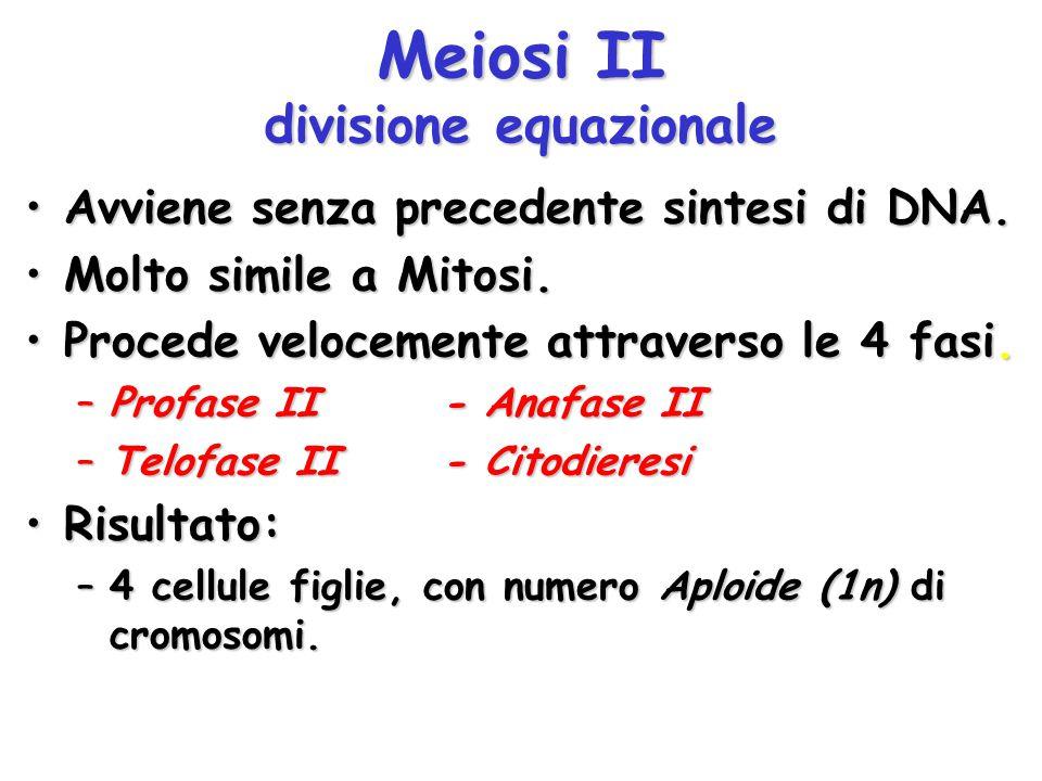 Meiosi II divisione equazionale