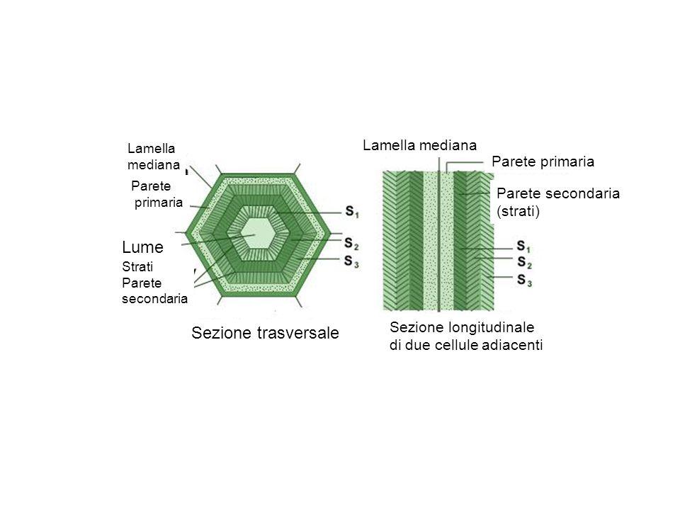 Lume Sezione trasversale Lamella mediana Parete primaria