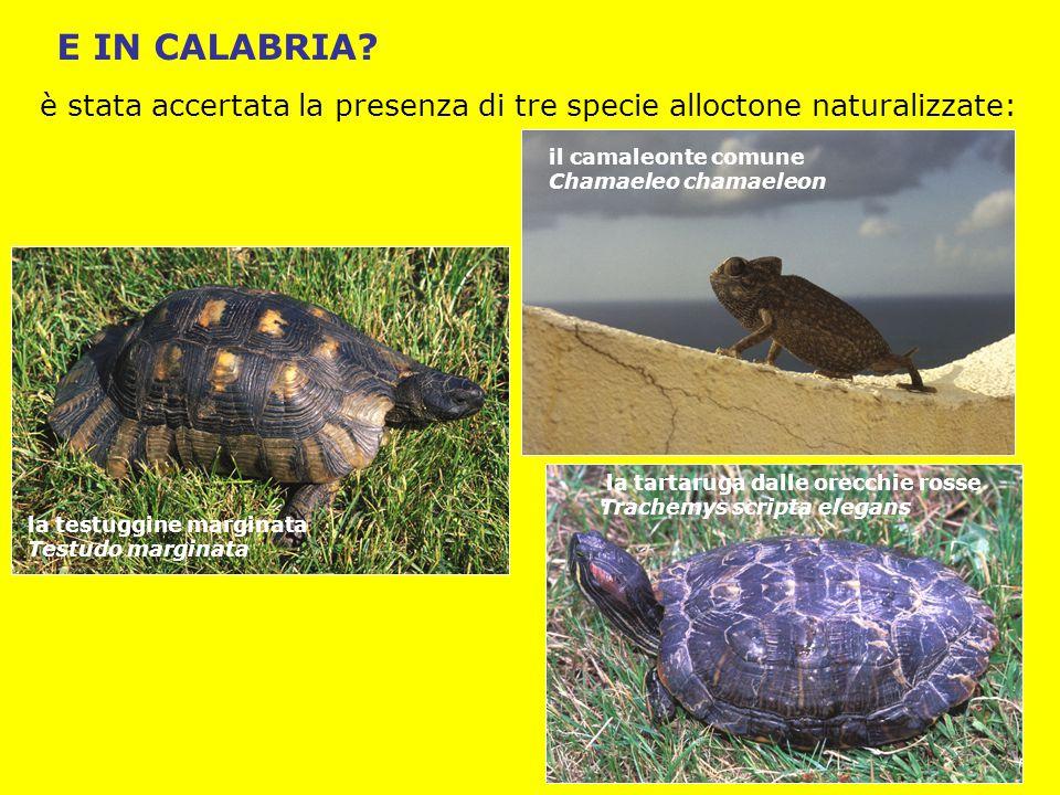 E IN CALABRIA è stata accertata la presenza di tre specie alloctone naturalizzate: il camaleonte comune.