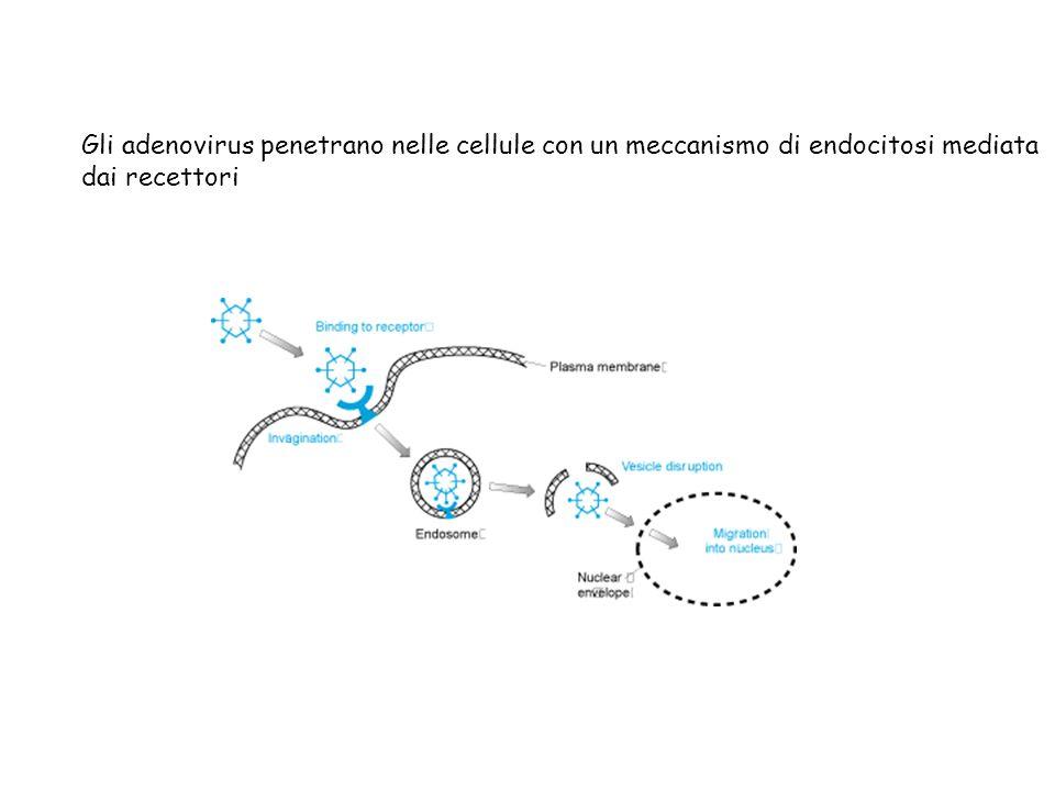 Gli adenovirus penetrano nelle cellule con un meccanismo di endocitosi mediata