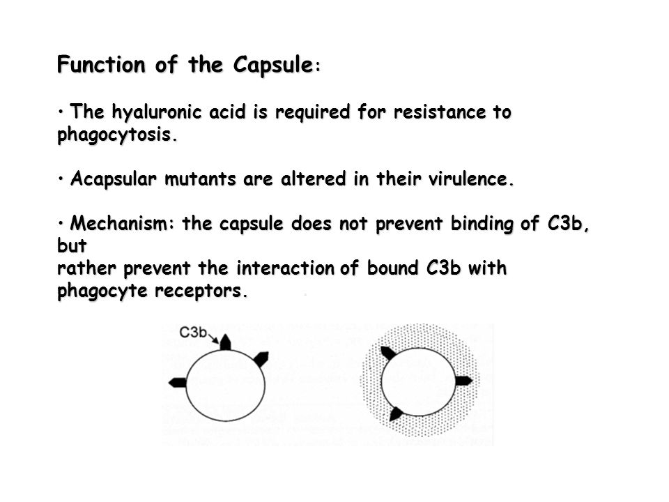 Function of the Capsule: • The hyaluronic acid is required for resistance to phagocytosis.