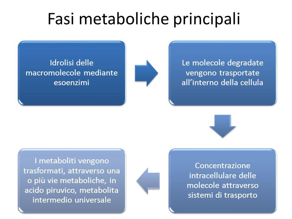 Fasi metaboliche principali