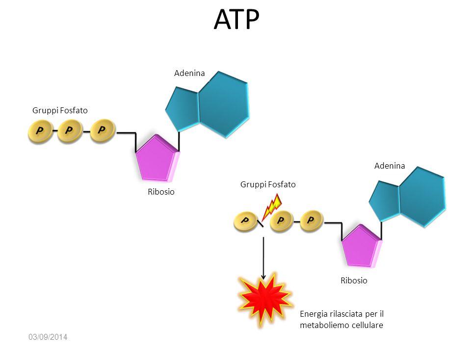 ATP Adenina Gruppi Fosfato Adenina Gruppi Fosfato Ribosio Ribosio