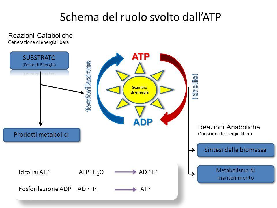 Schema del ruolo svolto dall'ATP