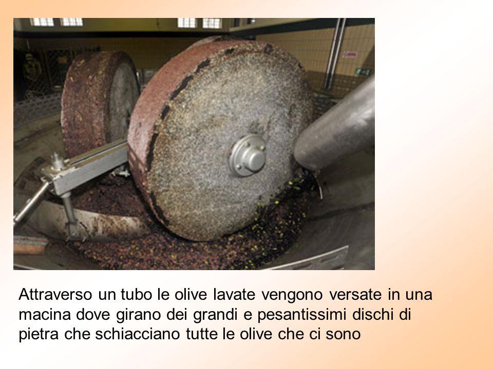 Attraverso un tubo le olive lavate vengono versate in una macina dove girano dei grandi e pesantissimi dischi di pietra che schiacciano tutte le olive che ci sono