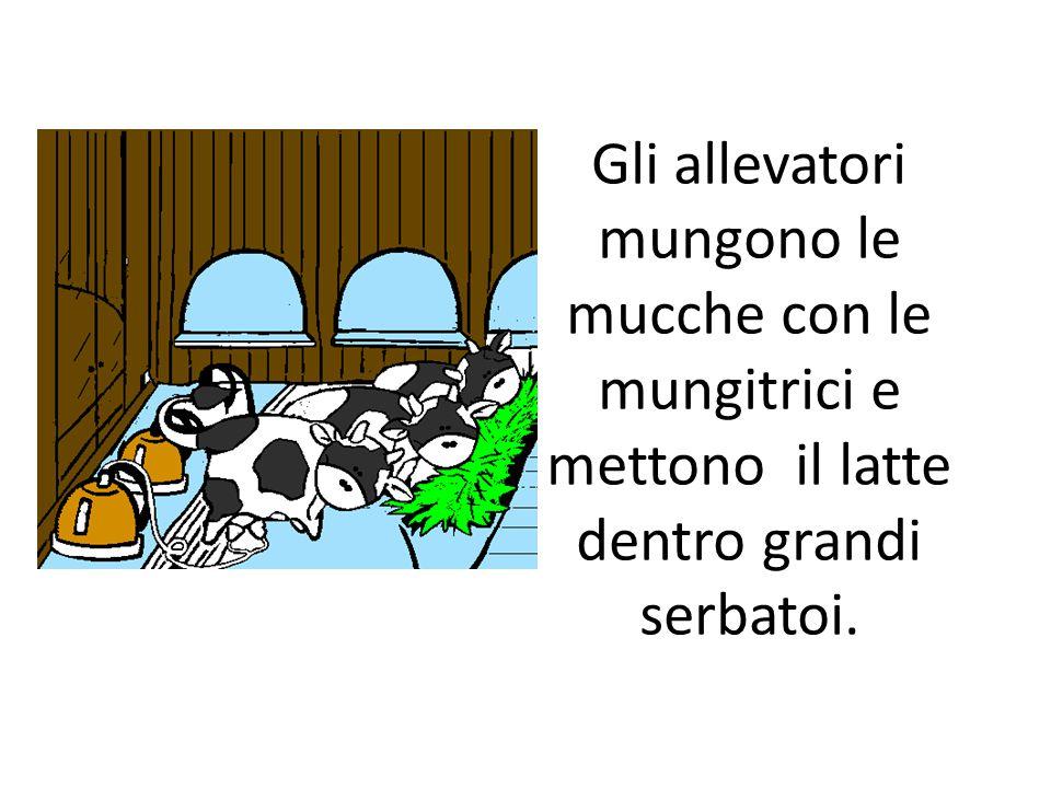 Gli allevatori mungono le mucche con le mungitrici e mettono il latte dentro grandi serbatoi.