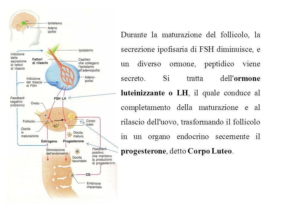 Durante la maturazione del follicolo, la secrezione ipofisaria di FSH diminuisce, e un diverso ormone, peptidico viene secreto.