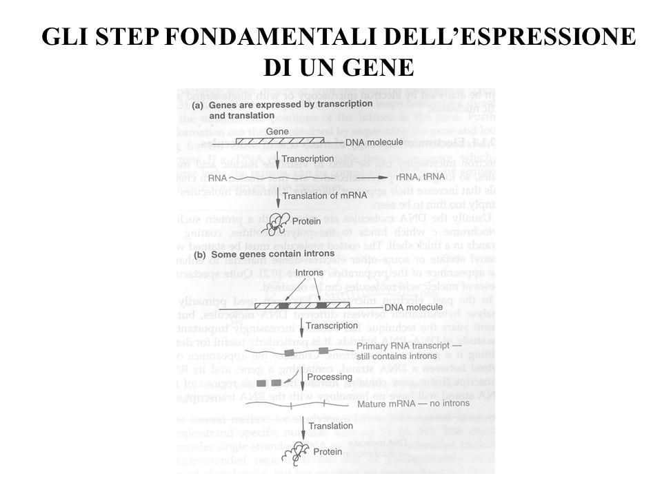 GLI STEP FONDAMENTALI DELL'ESPRESSIONE DI UN GENE