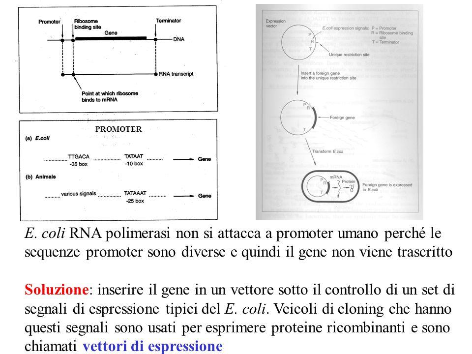 PROMOTER E. coli RNA polimerasi non si attacca a promoter umano perché le sequenze promoter sono diverse e quindi il gene non viene trascritto.