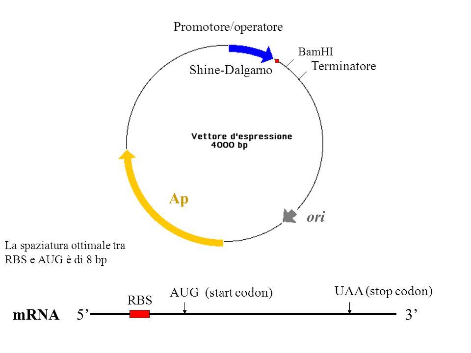 Ap ori mRNA 5' 3' Promotore/operatore Terminatore Shine-Dalgarno