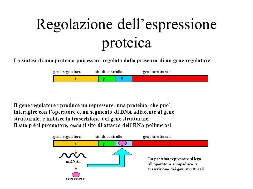 Regolazione dell'espressione proteica