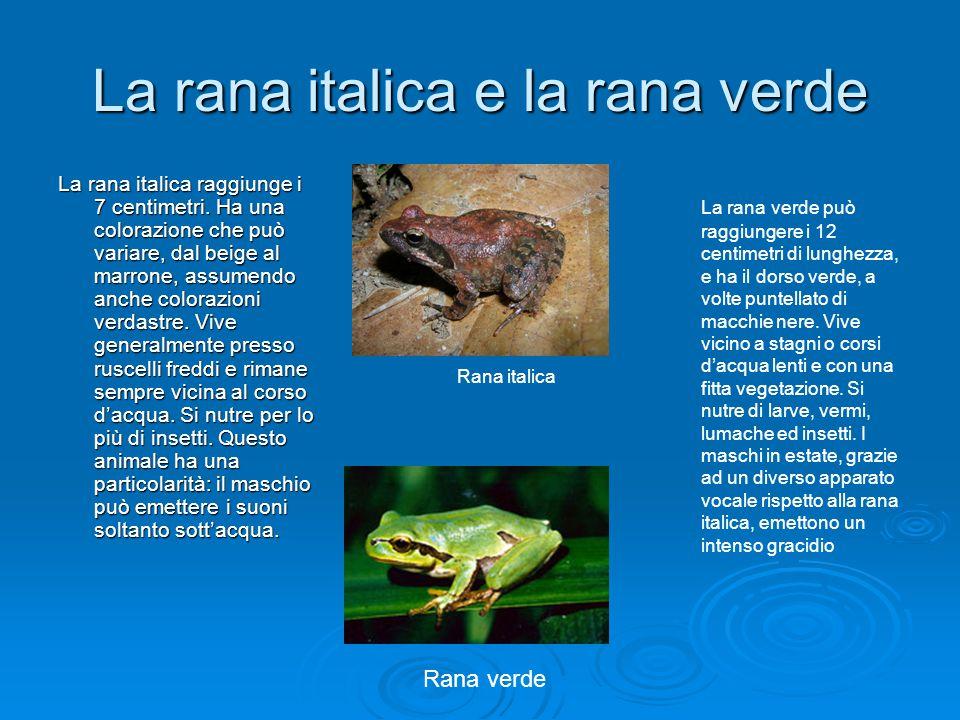 La rana italica e la rana verde