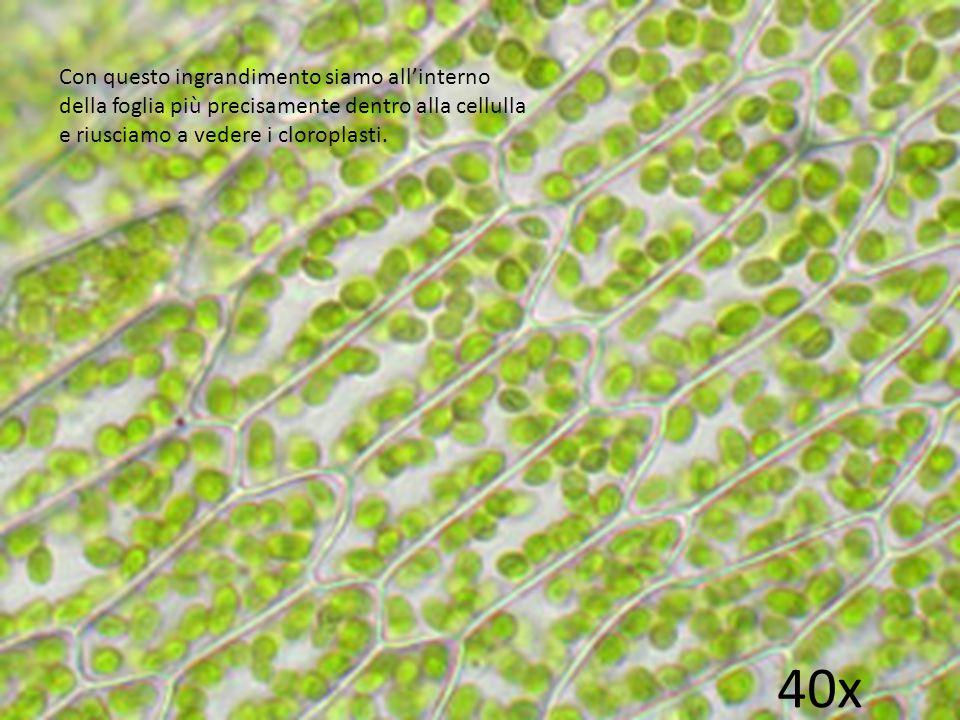 Con questo ingrandimento siamo all'interno della foglia più precisamente dentro alla cellulla e riusciamo a vedere i cloroplasti.