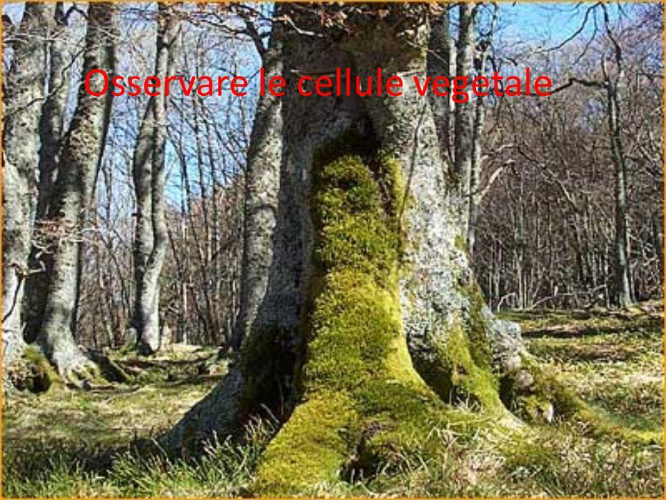 Osservare le cellule vegetale