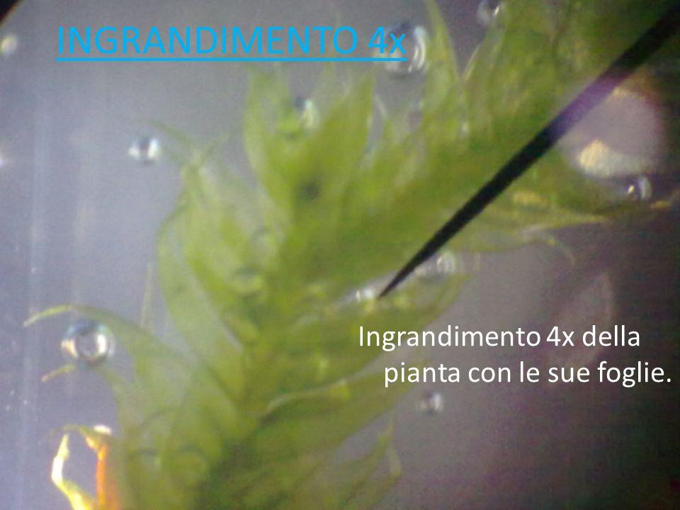 INGRANDIMENTO 4x Ingrandimento 4x della pianta con le sue foglie.