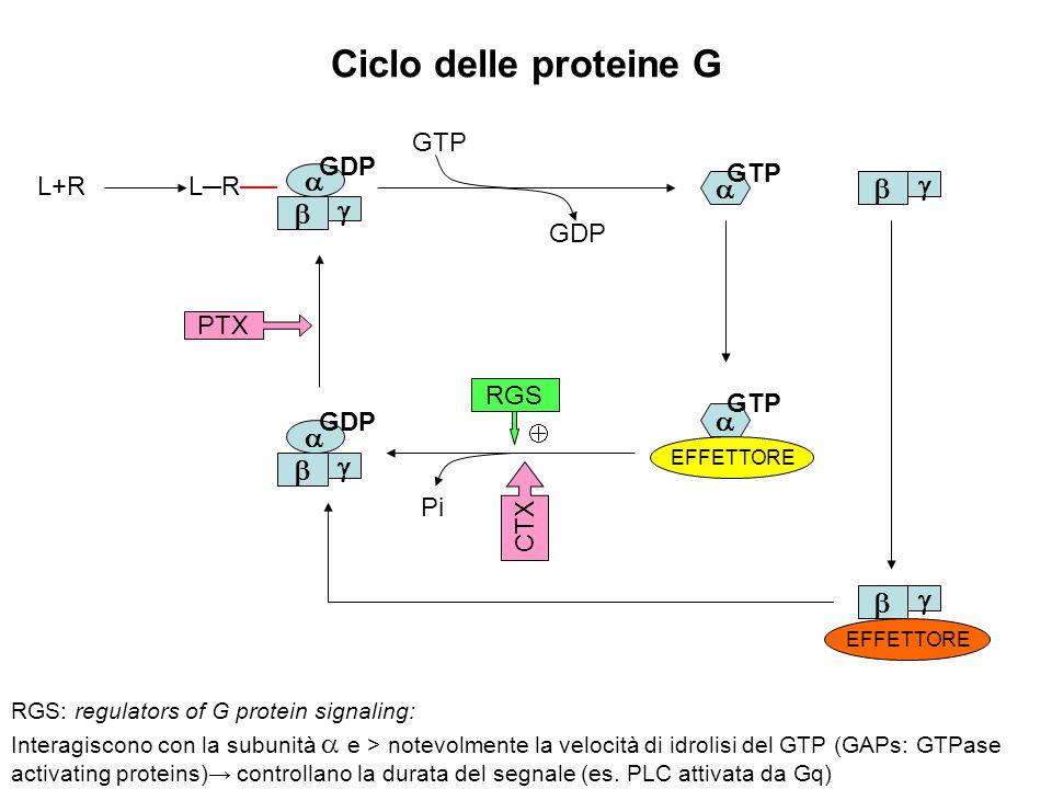 Ciclo delle proteine G             GTP GDP GTP L+R L─R──