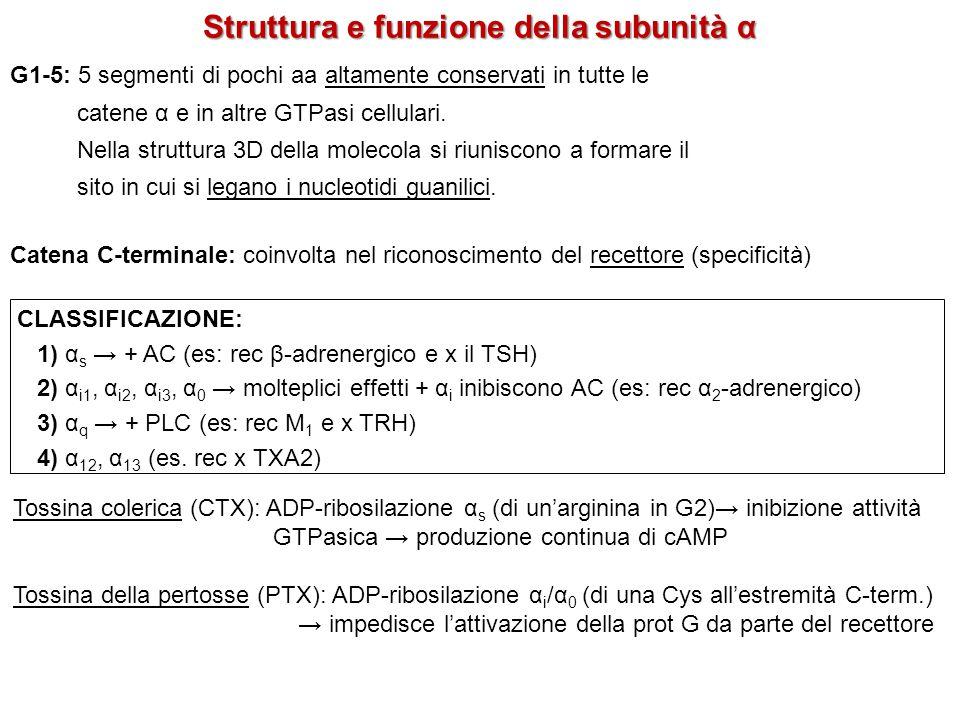 Struttura e funzione della subunità α