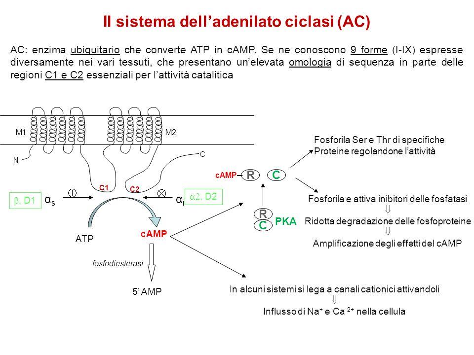 Il sistema dell'adenilato ciclasi (AC)