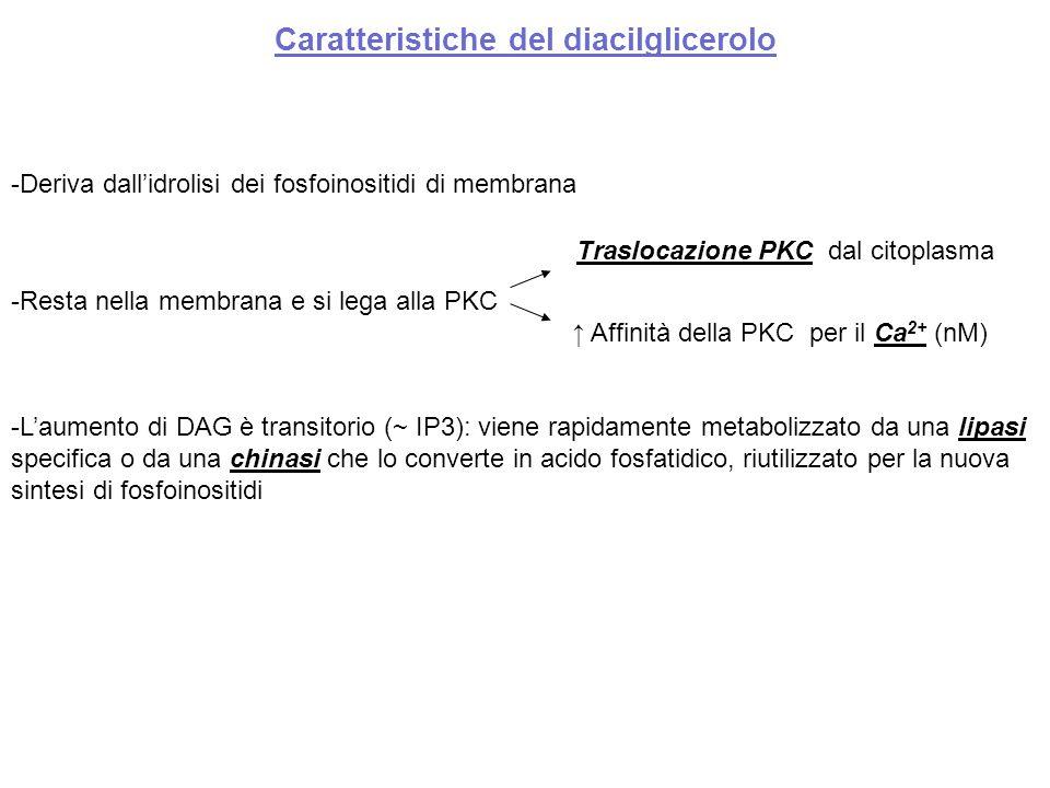 Caratteristiche del diacilglicerolo