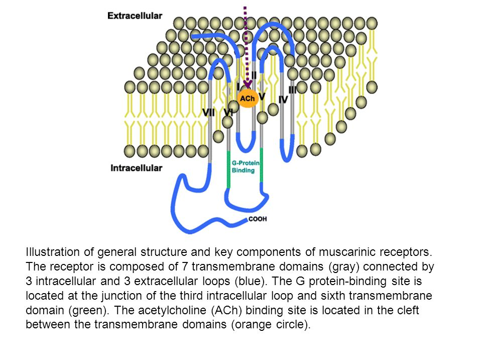 Illustration of general structure and key components of muscarinic receptors. The receptor is composed of 7 transmembrane domains (gray) connected by 3 intracellular and 3 extracellular loops (blue). The G protein-binding site is located at the junction of the third intracellular loop and sixth transmembrane domain (green). The acetylcholine (ACh) binding site is located in the cleft between the transmembrane domains (orange circle).