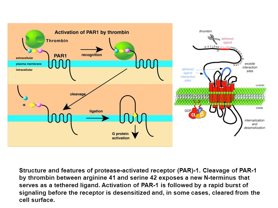 Structure and features of protease-activated receptor (PAR)-1