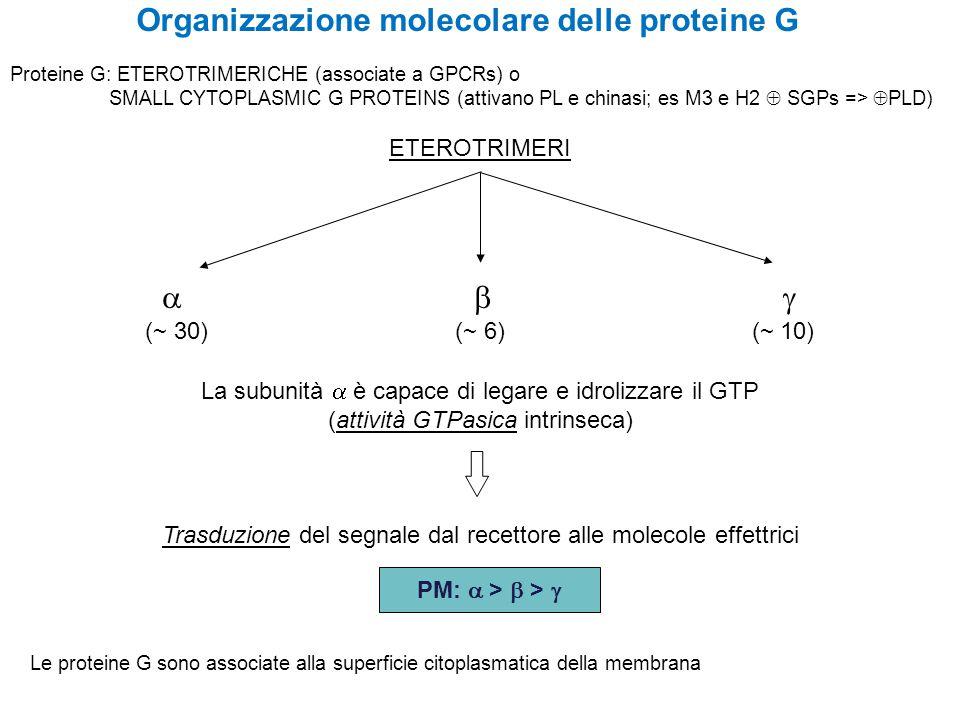 Organizzazione molecolare delle proteine G