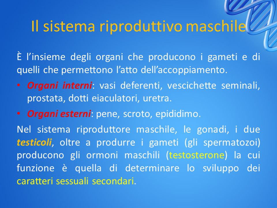 Il sistema riproduttivo maschile