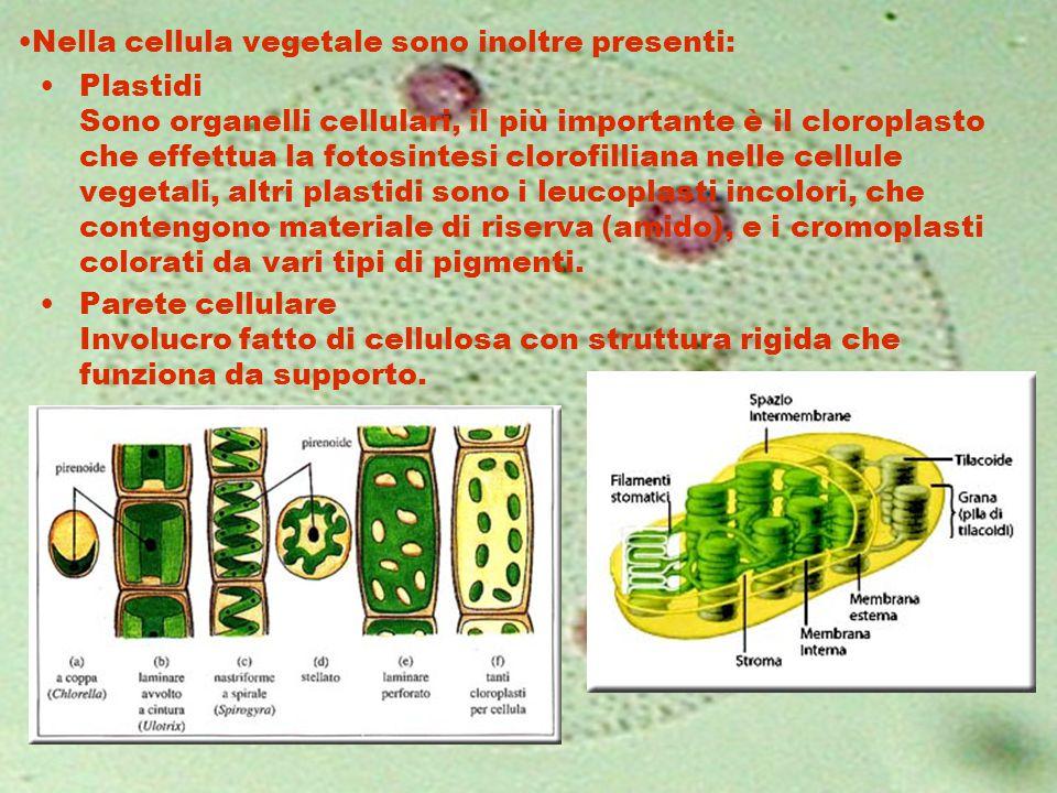 Nella cellula vegetale sono inoltre presenti:
