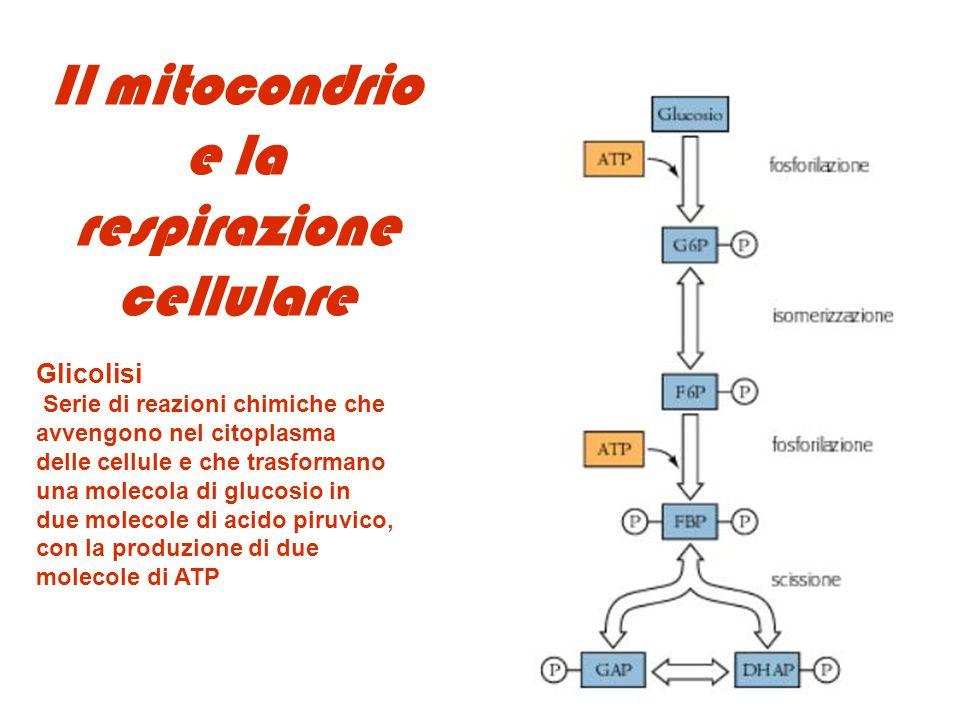 Il mitocondrio e la respirazione cellulare